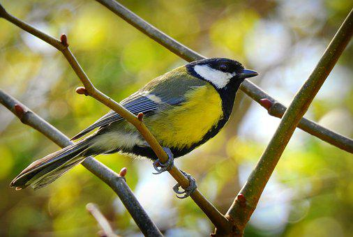 Great Tit, Song Bird, Animal, Wing