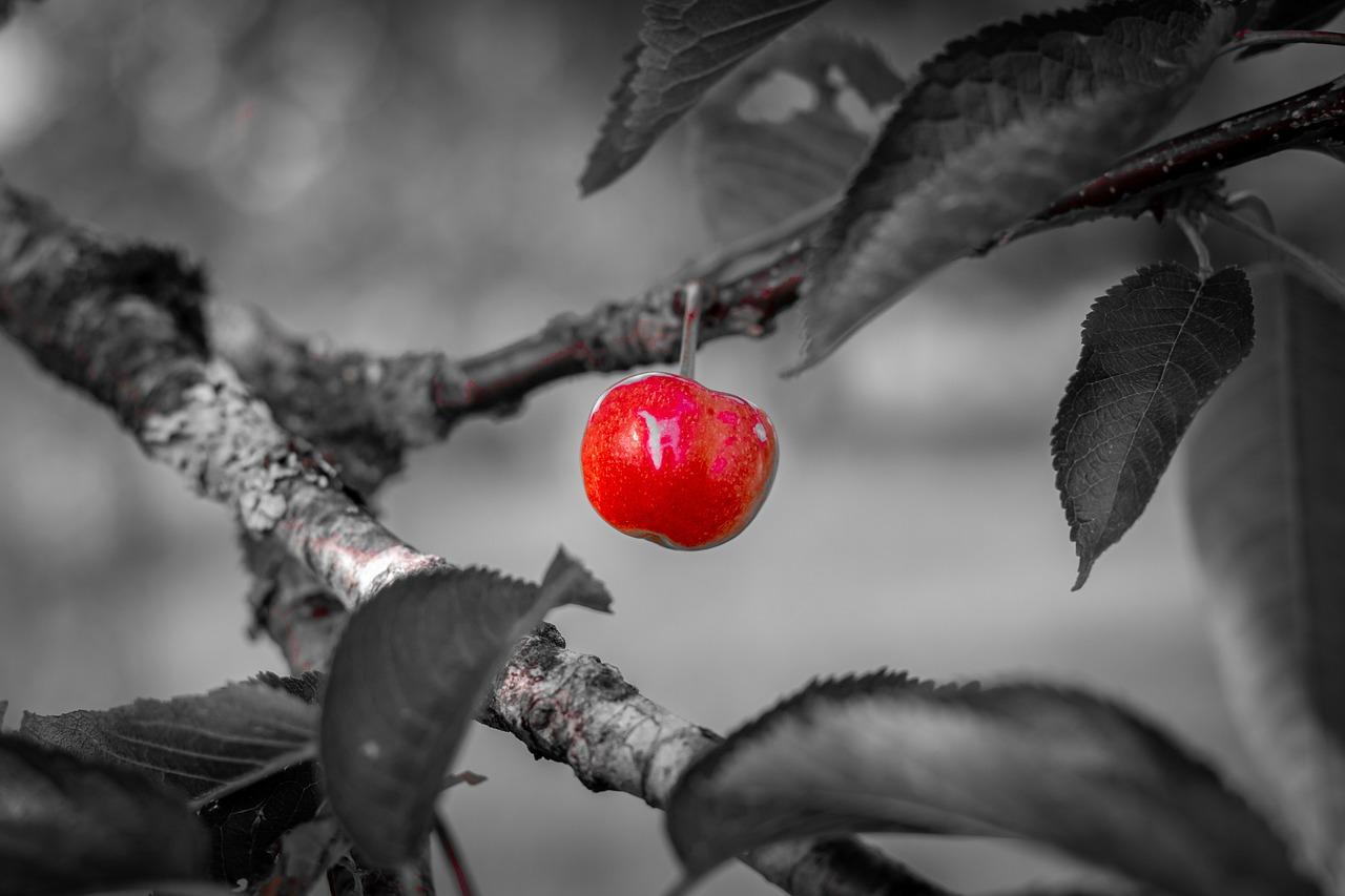 Вишня Вишневое Дерево Весна - Бесплатное фото на Pixabay