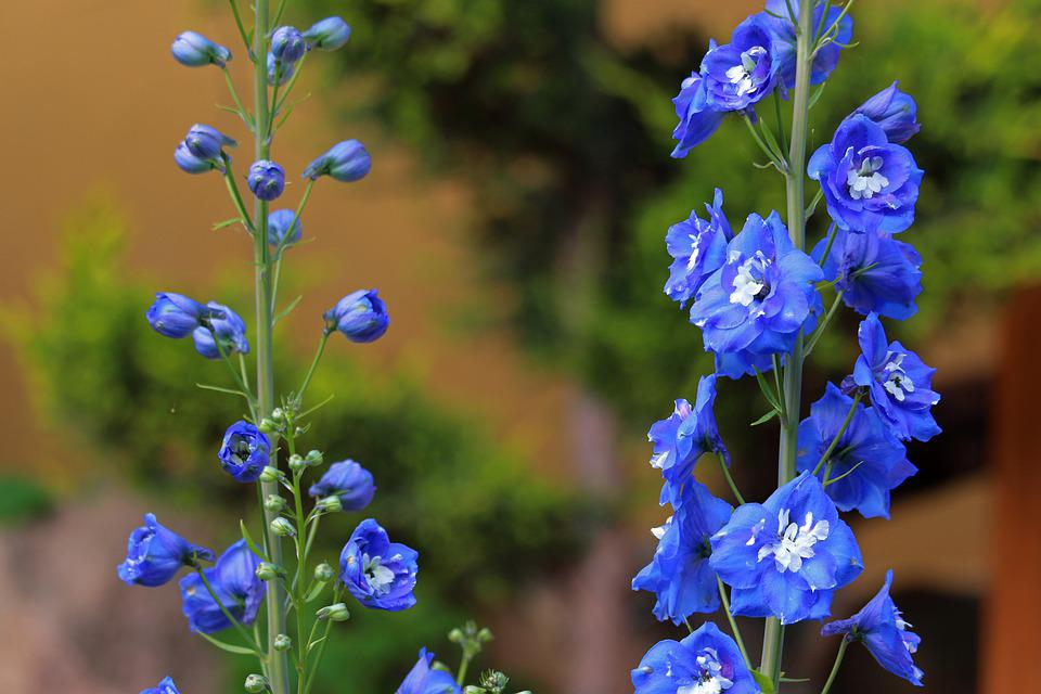 Larkspur, Garden Plant, Garden, Blue, Nature, Plant
