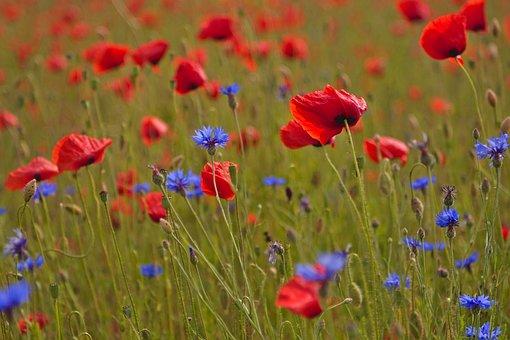 Poppies, Poppy Field, Cornflowers
