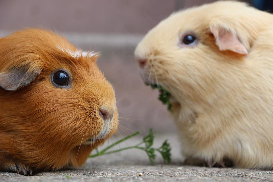 Guinea Pig, Rodent, Mammal, Nager, Smooth Hair, Fur