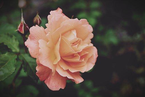 Roses, Rose Bloom, Flowers, Blossom