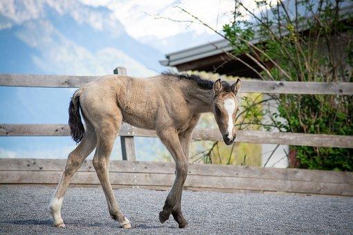 Foal, Newborn, Horse, Pony, Riding Pony