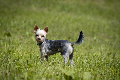 Yorkie, Yorki, Yorkshire Terrier, Meadow