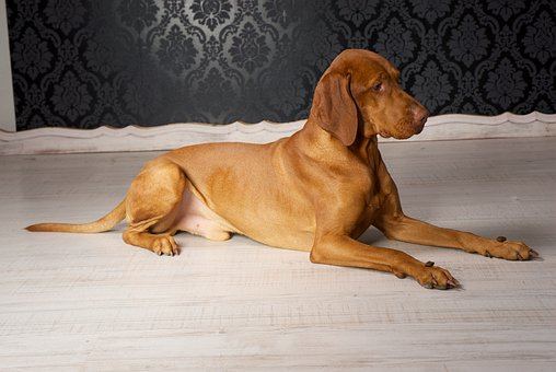 Vizsla Puppies For Sale in Massachusetts