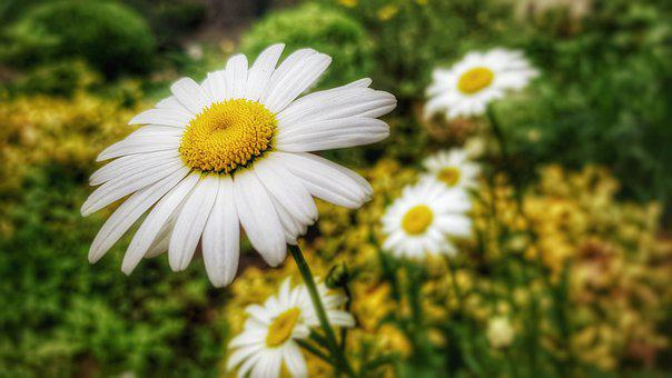 Marguerite, Flower, Blossom, Bloom