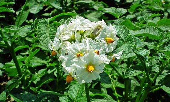 Kwiaty Ziemniaka Zdjecia - Pobierz darmowe obrazy - Pixabay