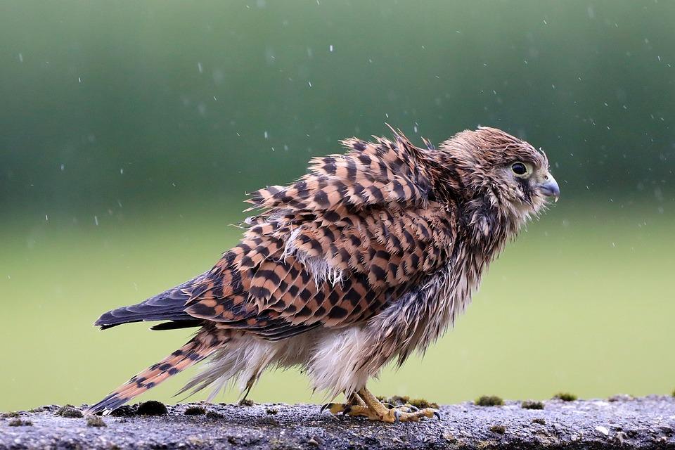 Falcon, Young Hawk, Raptor, Bird Of Prey, Freilebend