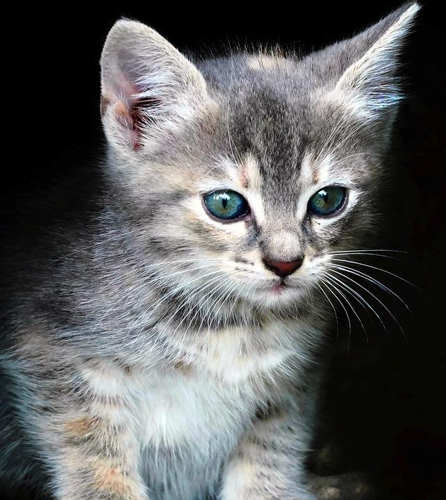 Kätzchen-Portrait, Kätzchen, Flauschig, Haustier
