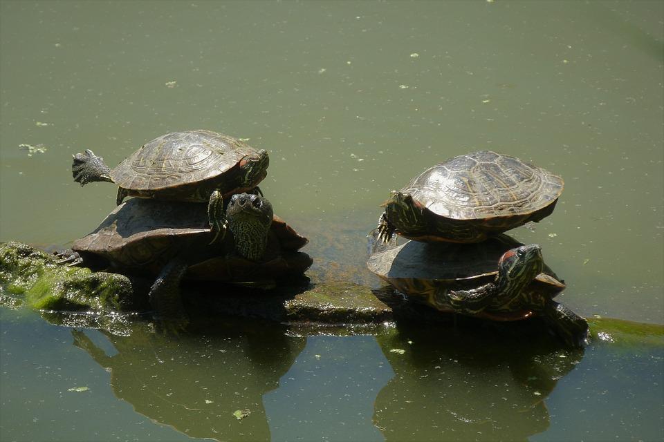 カメ, バランス, 自然, 動物, 水, 中央公園, ニューヨーク