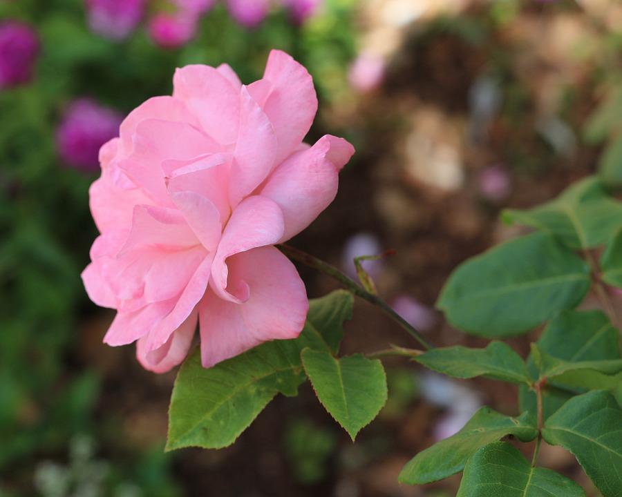 Rose Pâle Roses - Photo gratuite sur Pixabay