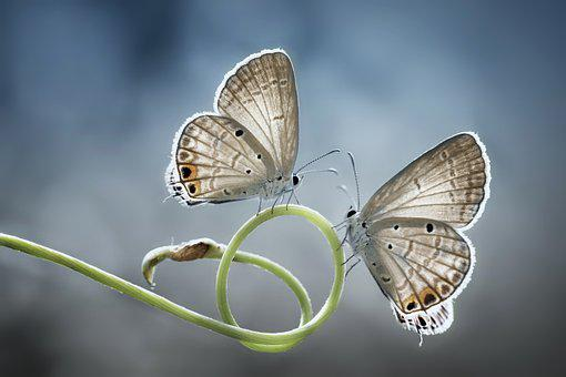 Butterfly, Twin, Nature, Insect, Animal