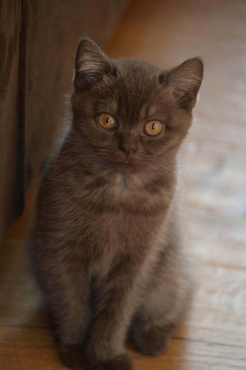Kitten Cat Pet Free Photo On Pixabay