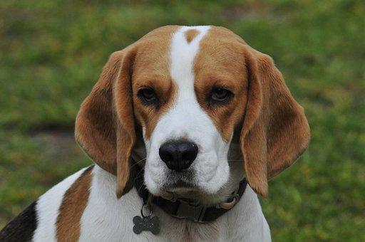 300+ Free Beagle & Dog Photos - Pixabay