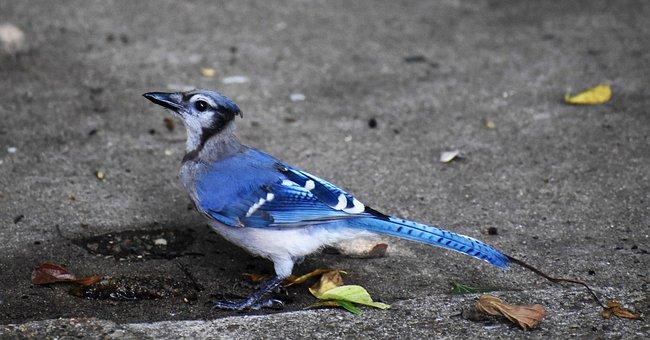 Blue Jay, Ave, Azul Y Negro, Jay