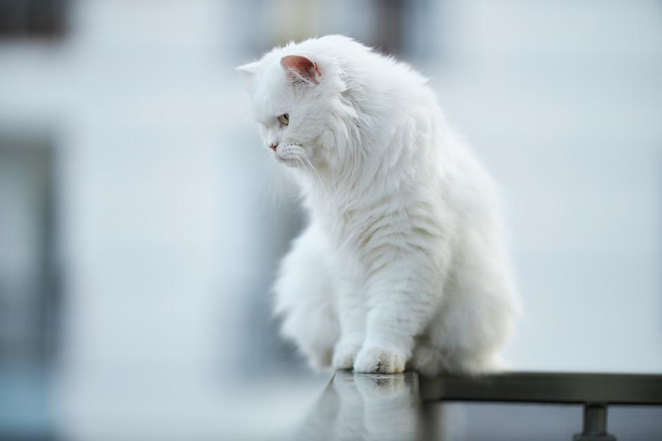 Cat, Animal, White, Feather, Fur Leather, Sit, Balcony