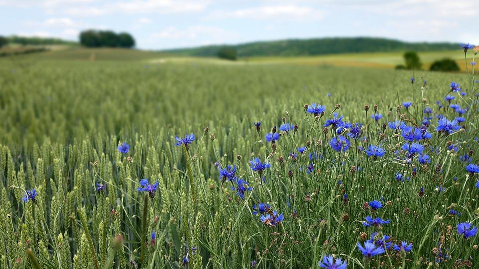 Countryside Blueberries Wheat - Free photo on Pixabay