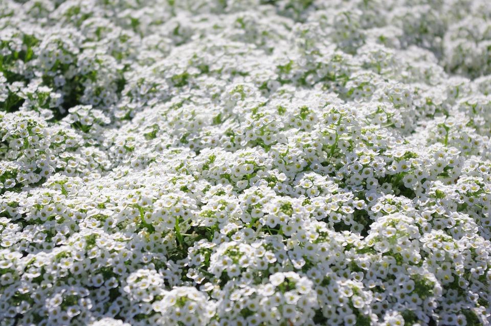 Sweet Alyssum, Small, Flowers, White, Spring, Bloom