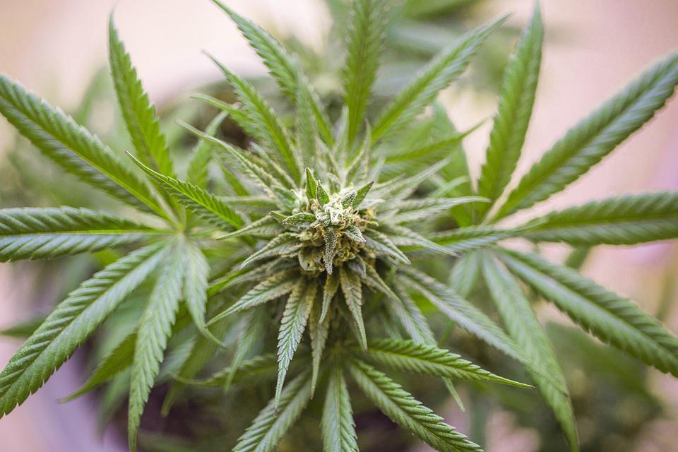 2020 New Zealand Cannabis Referendum Odds