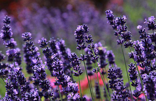 Lavender The Queen Of Herbs