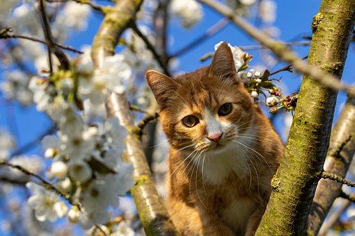 Cat, Tree, Cherry Tree, Cherry Blossom