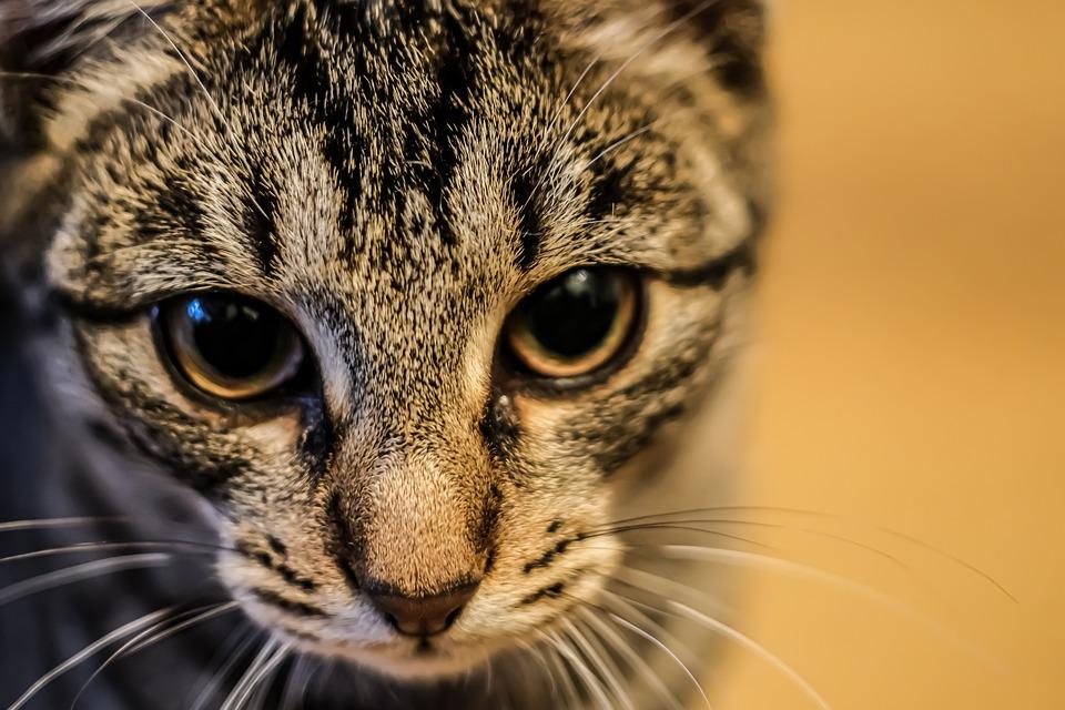 Kucing Hewan Harimau Anak - Gambar gratis di Pixabay