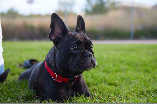 Teacup French Bulldog