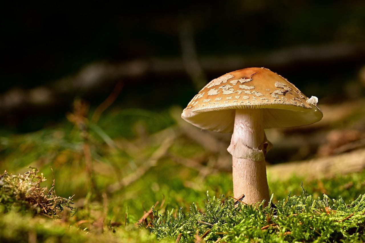 Mushroom Perlpilz Forest - Free photo on Pixabay
