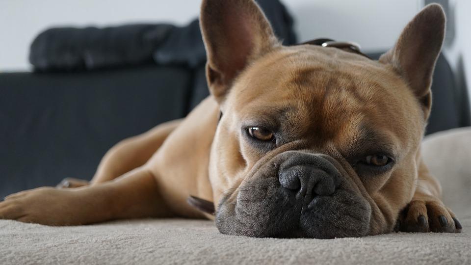 フレンチ ブルドッグ, 犬, 疲れた, Kuscheldecke, ソファ, 睡眠, 休憩, リラックスした