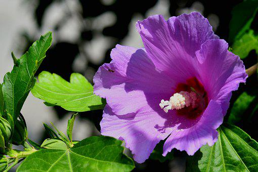 Hibiscus, Flower, Bloom, Blossom, Floral