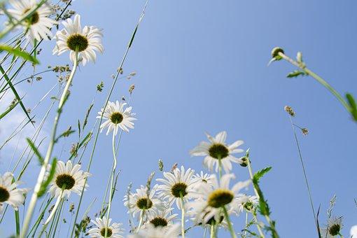 ヒナギク、草原、花草原、空