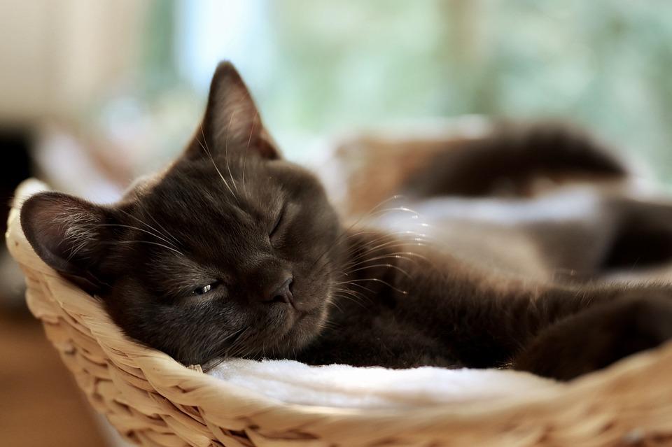 Mèo, Con Mèo Con, Mắt, Mèo Nhà, Tiếng Rì Rầm, Ngủ, Trẻ