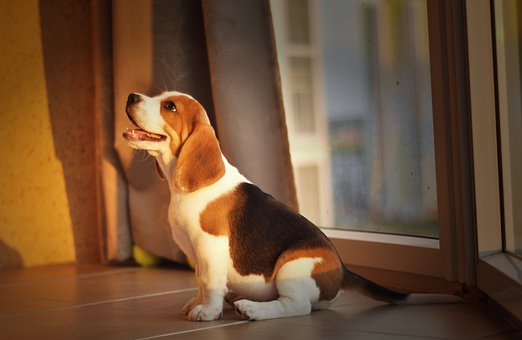 Beagle, Puppy, Dog, Cute, Home, Good