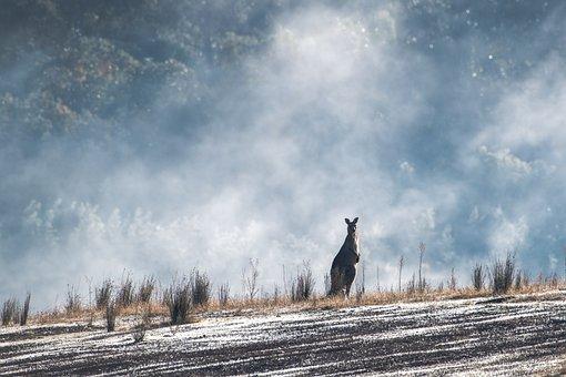 オオカンガルー, オーストラリア, 野生動物, ネイティブ, 自然, 有袋類