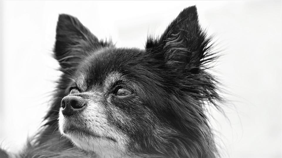 チワワ, 犬, わんちゃん, 小, 甘い, かわいい, ブラック ホワイト, 背景, 動物, 誠実な友