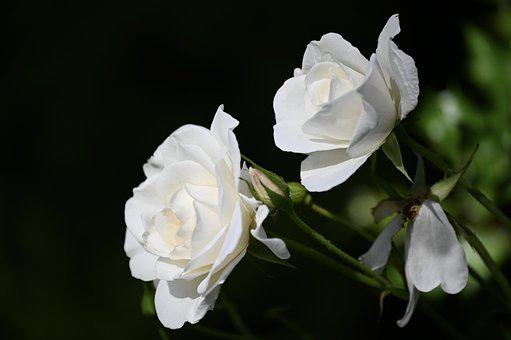 Rose, Rose Bloom, Flower, Blossom, Bloom