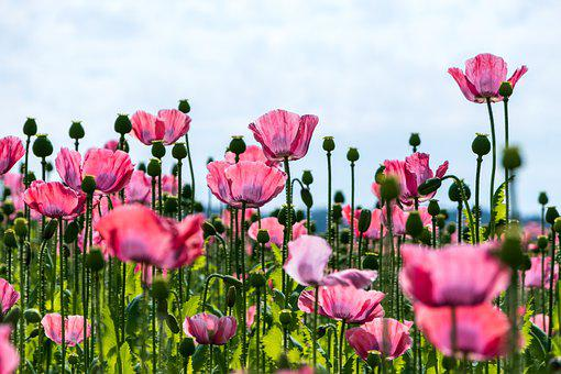 Poppy, Nature, Flowers, Pink