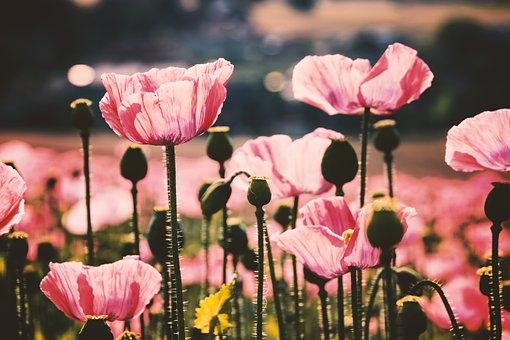 Poppy, Pink, Bright, Light, Lighting