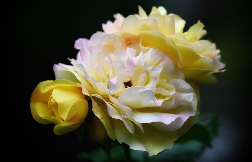 Rose, Rose Bloom, Blossom, Bloom, Flower, Nature