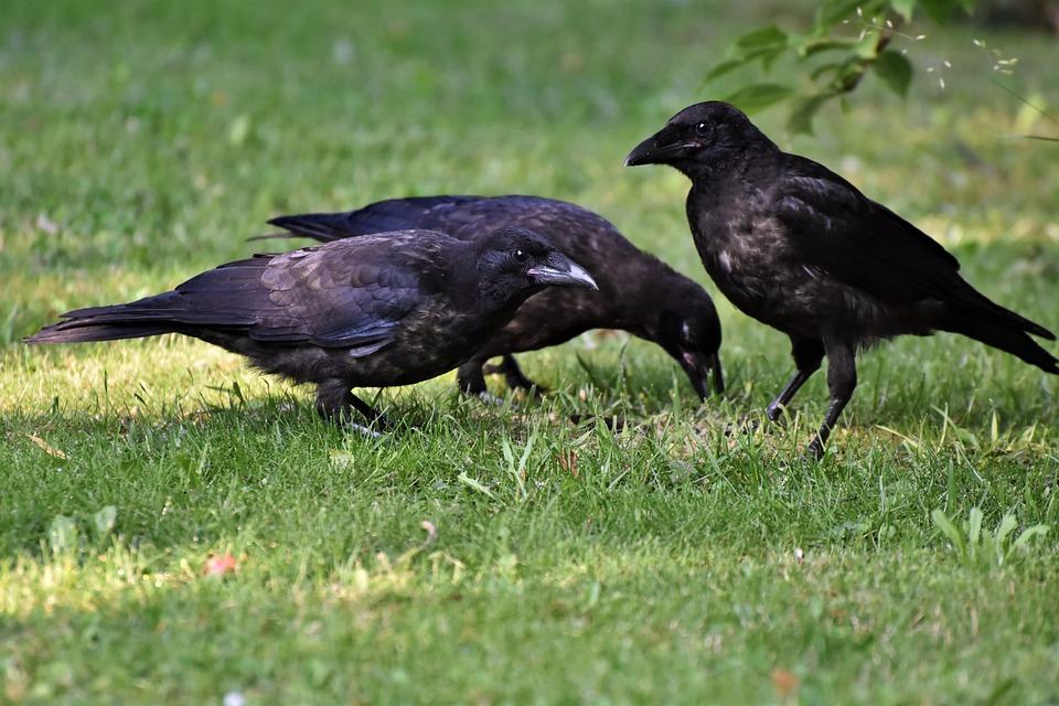 Vrany si môžu zapamätať tvoju tvár a môžu ťa nenávidieť