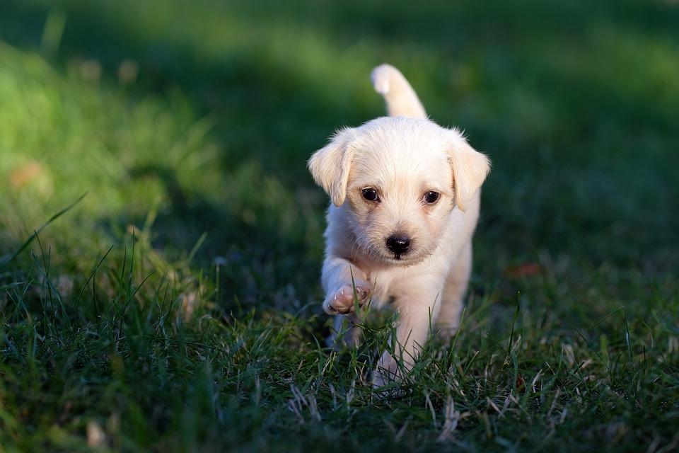 Pies, Zwierzęcy, Szczeniak, Ładny, Młody, Psina