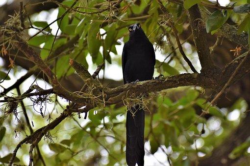 Cuervo, Pájaro Negro, Inteligentes