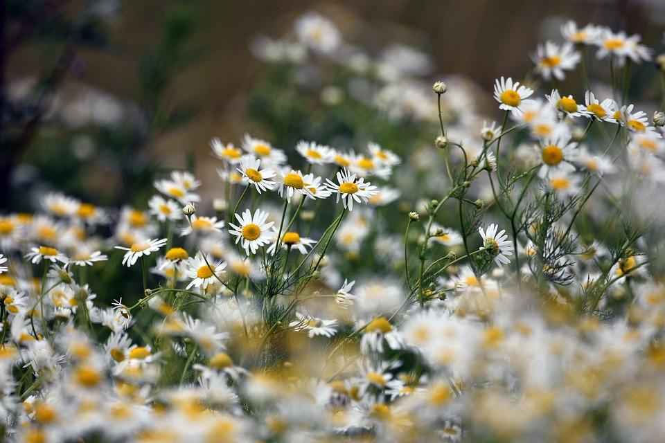 カモミール, 花, 牧草地, 夏, 風景, 春, ネイチャー, グリーン, ホワイト, 花びら, 黄色