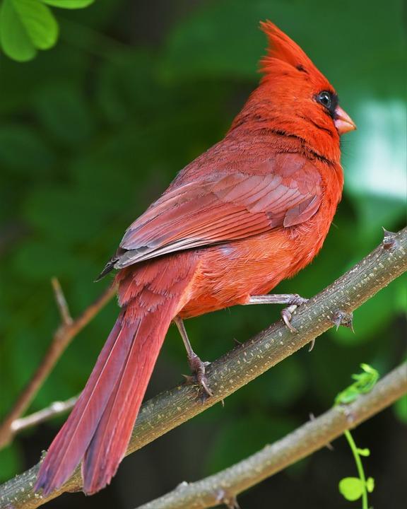 Bird, Redbird, Cardinal, Songbird, Northern, Portrait