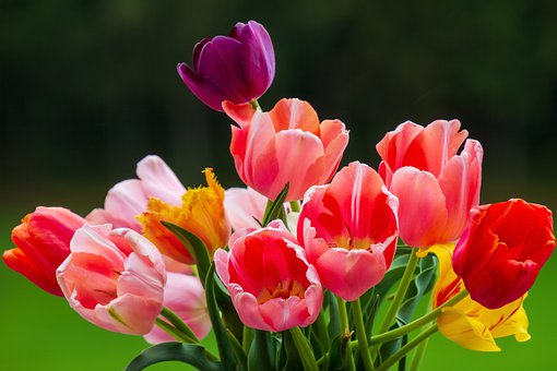 Tulips, Colorful, Nature, Flowers, Bloom