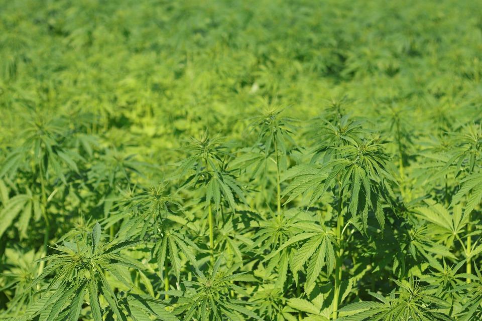 Champ de cannabis textile