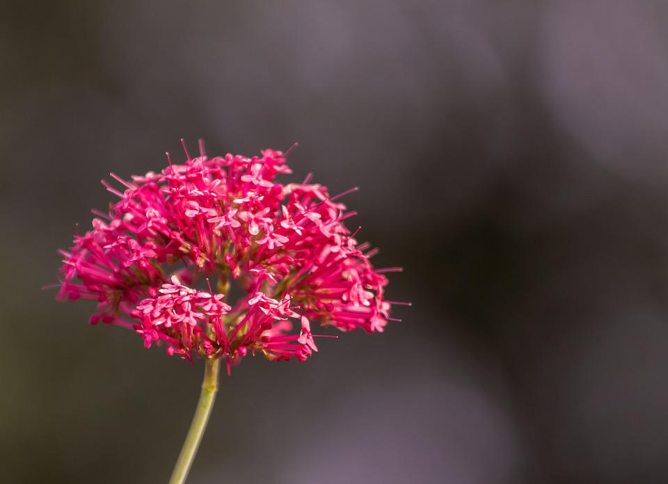 Красный Валерианы
