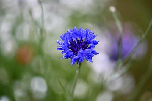 Cornflower, Flower, Blossom, Bloom