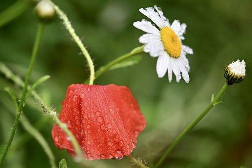 Poppy, Daisy, Flower Meadow