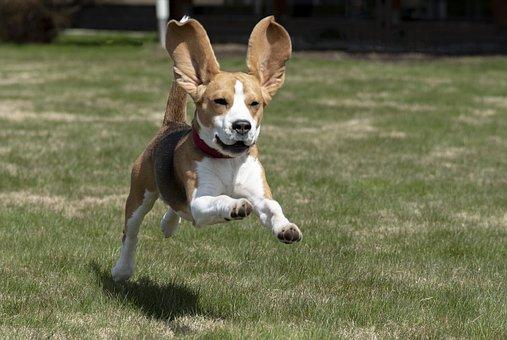 Beagle, Cão, Cachorro, Animal